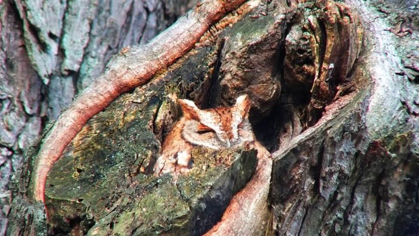 tan morph eastern screech owl_burlington_ontario_ 6