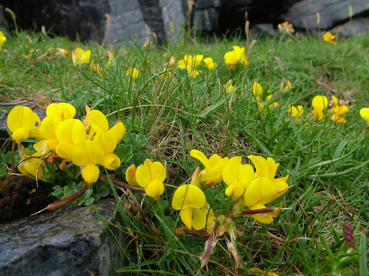 Wildflowers On Irelands Inishmore Island