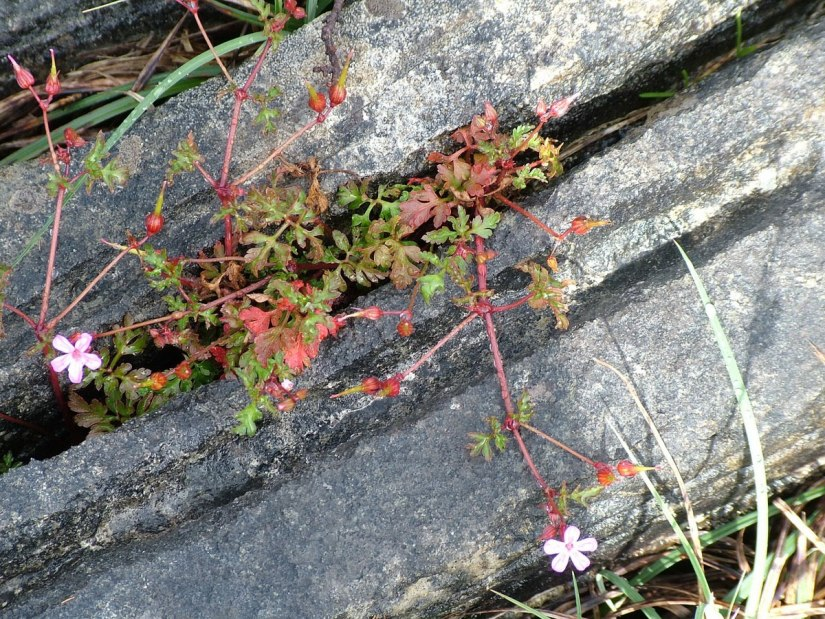 An image of Shining Crane's Bill Geranium growing among rocks on Inishmore Island, in Ireland. Photography by Frame To Frame - Bob and Jean.