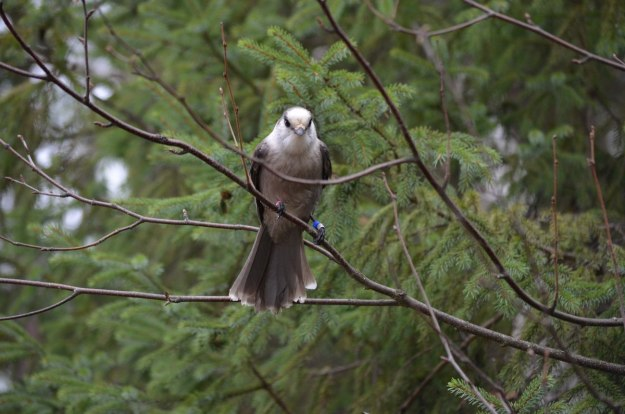 gray jay in algonquin provincial park - ontario - pic 2