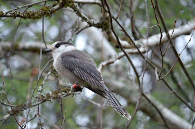 gray jay in algonquin provincial park - ontario - pic 4