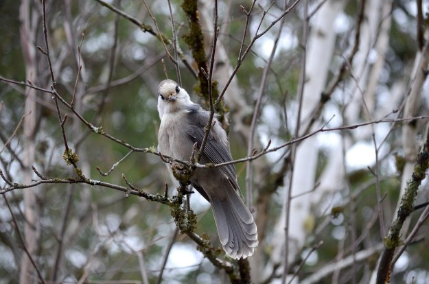 gray jay in algonquin provincial park - ontario - pic 5