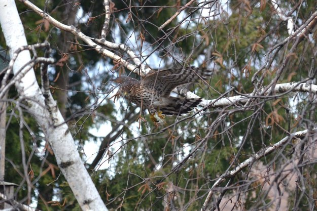 juvenile coopers hawk in flight - toronto - ontario