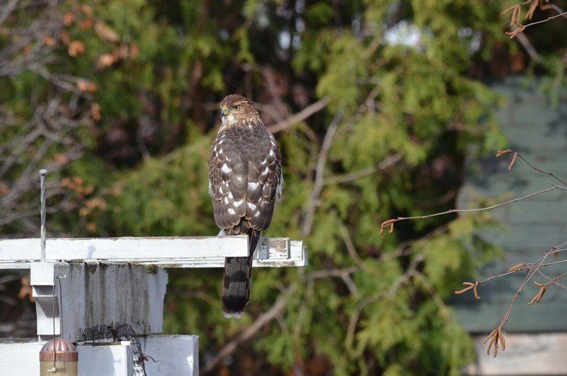 juvenile coopers hawk on arbour - toronto - ontario 3