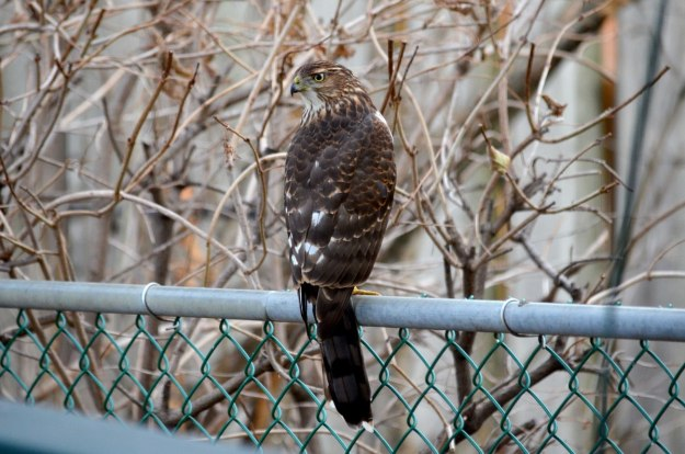 juvenile coopers hawk on fence - toronto - ontario
