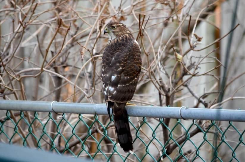juvenile coopers hawk on fence - toronto - ontario