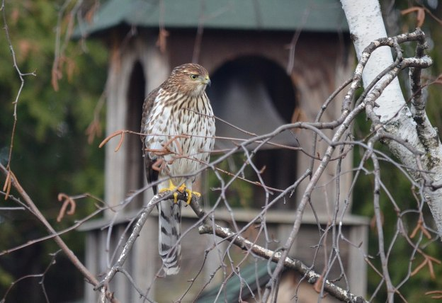 juvenile coopers hawk sitting in tree - toronto - ontario 3