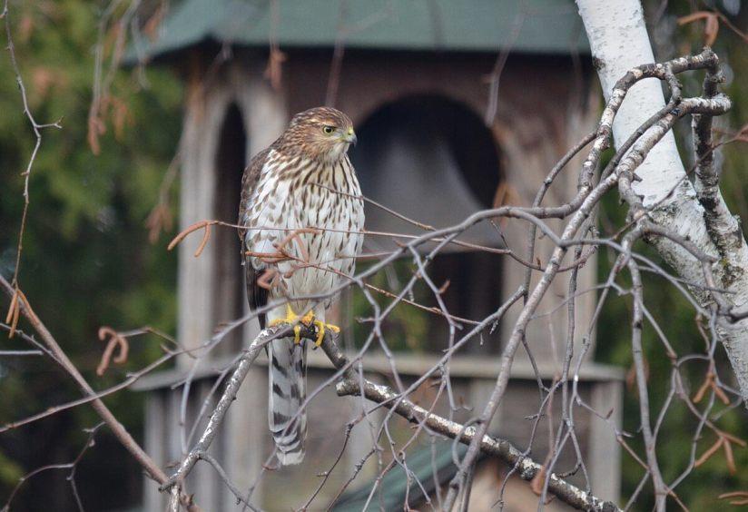 juvenile coopers hawk sitting in tree - toronto - ontario 3