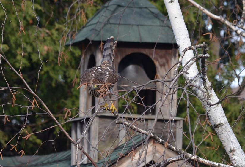 juvenile coopers hawk sitting in tree - toronto - ontario 4