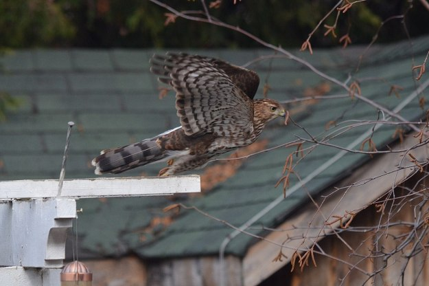juvenile coopers hawk takes flight - toronto - ontario