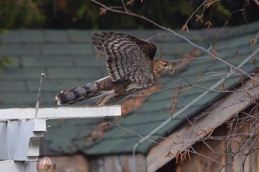 juvenile coopers hawk takes flight - toronto - ontario