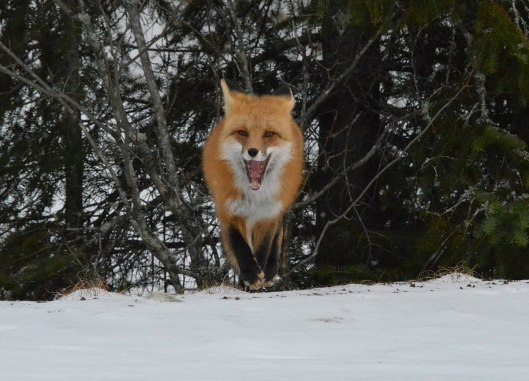 red fox in algonquin park - november 2014 pic 9