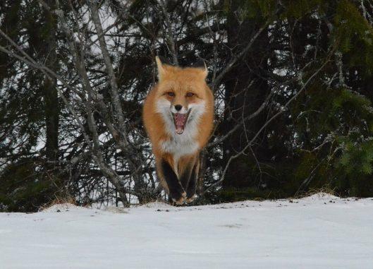 red fox in algonquin park - november 2014 pic 9
