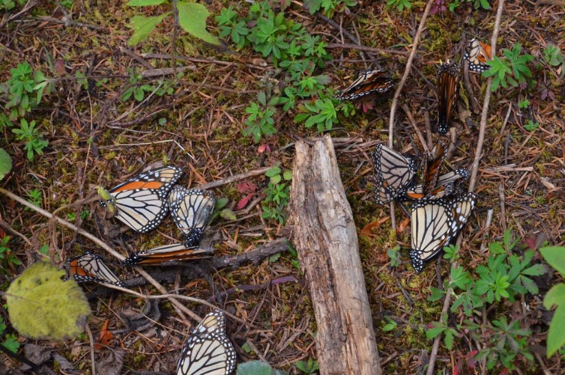 Dead Monarch butterflies on the ground at Cerro Pelon Monarch Butterfly Sanctuary, near Macheros, Mexico