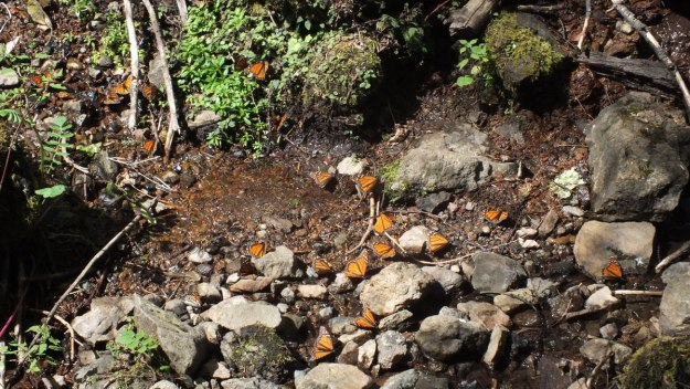 Monarch butterflies along a creek at El Rosario Monarch Butterfly Reserve, in Michoacán, Mexico