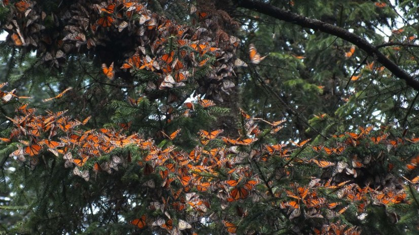 Monarch butterflies on tree branches at Cerro Pelon Monarch Butterfly Sanctuary, near Macheros, Mexico