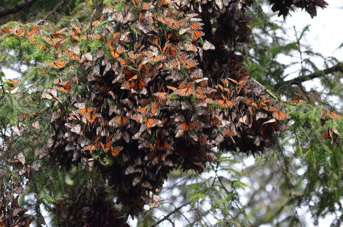 Visiting Cerro Pelon Monarch Butterfly Sanctuary On Horseback