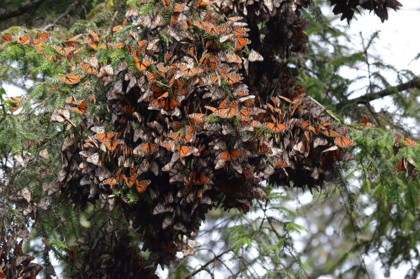 Monarch butterflies in flutter on fir tree at Cerro Pelon Butterfly Sanctuary, near Macheros, Mexico