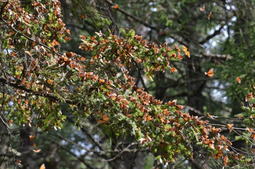 Monarch butterflies sitting on tree limbs at El Rosario Monarch Butterfly Reserve, in Michoacán, Mexico