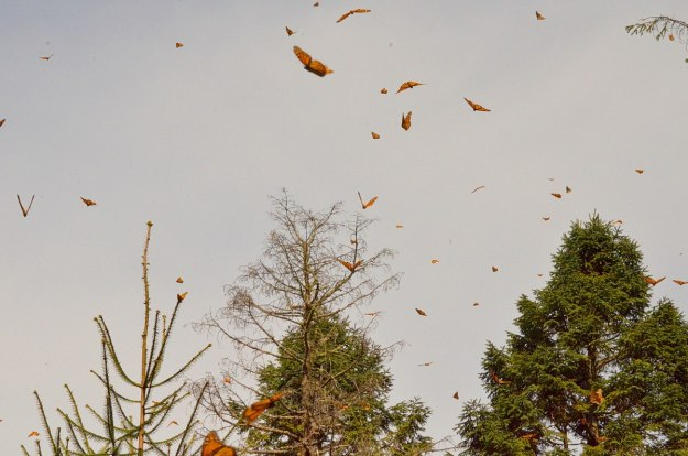 Monarch butterflies in flight above trees at Sierra Chincua Butterfly Sanctuary near Angangueo, Mexico