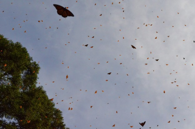 Monarch butterflies in the air at El Rosario Monarch Butterfly Reserve, in Michoacán, Mexico