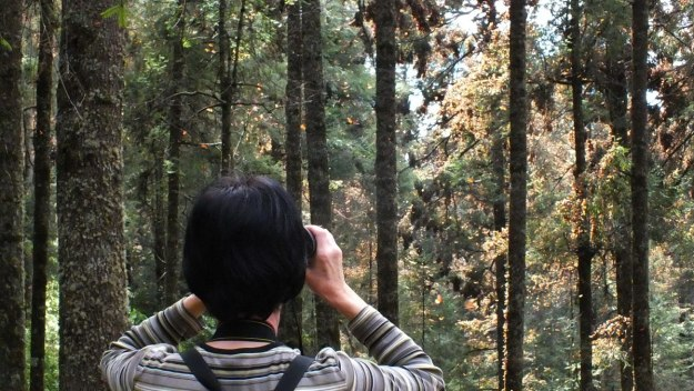 Jean looks at Monarch butterflies on tree limbs at El Rosario Monarch Butterfly Reserve, in Michoacán, Mexico