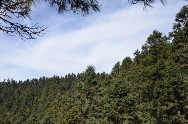 Oyamel fir trees at Sierra Chincua Butterfly Sanctuary near Angangueo, Mexico