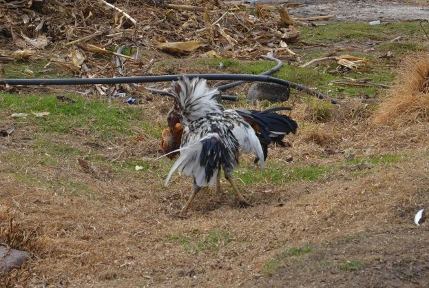 roosters cockfighting near angangueo - mexico 9