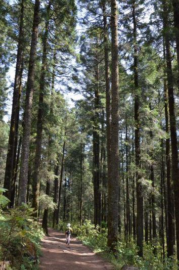 Hiking trail through Fir trees at Sierra Chincua Butterfly Sanctuary near Angangueo, Mexico