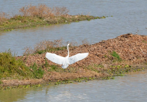 Great egret with wings out along shore of Lago de Cuitzeo, in the Michoacán State, Mexico