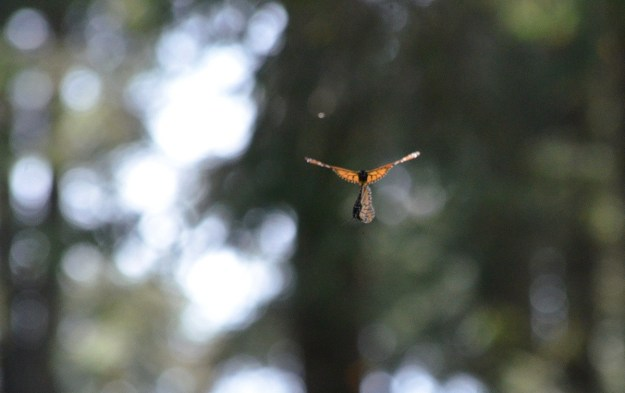 Mating Monarch butterflies in flight at Sierra Chincua Butterfly Sanctuary near Angangueo, Mexico