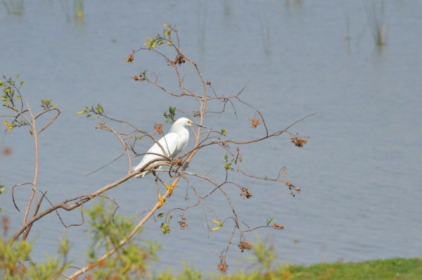 Snowy Egret in a tree at Lago de Cuitzeo, in the Michoacán State, Mexico
