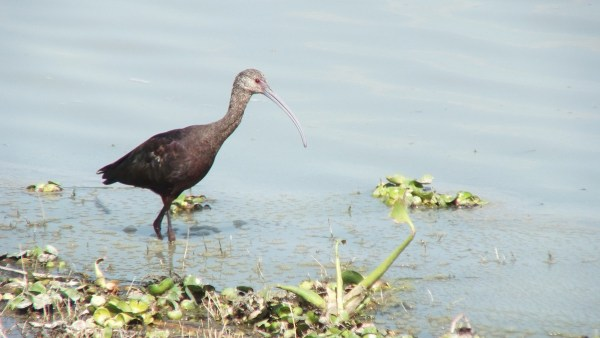 White-faced Ibis walking along shore at Lago de Cuitzeo, in the Michoacán State, Mexico