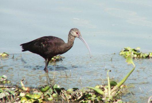 white-faced ibis, lago de cuitzeo, mexico, 15