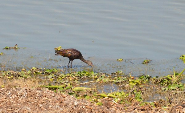 White-faced Ibis fishing along shore of Lago de Cuitzeo, in the Michoacán State, Mexico