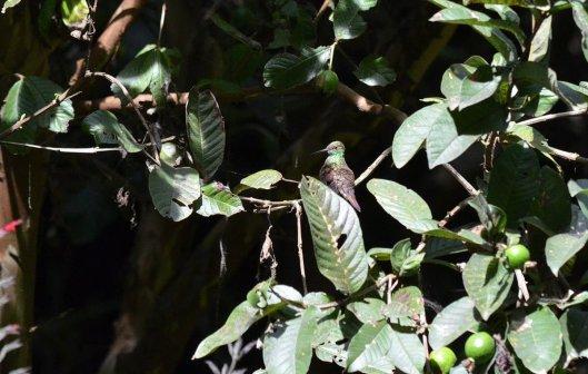 Berylline Hummingbird at hotel rancho san cayetano, zitacuaro, mexico, 2