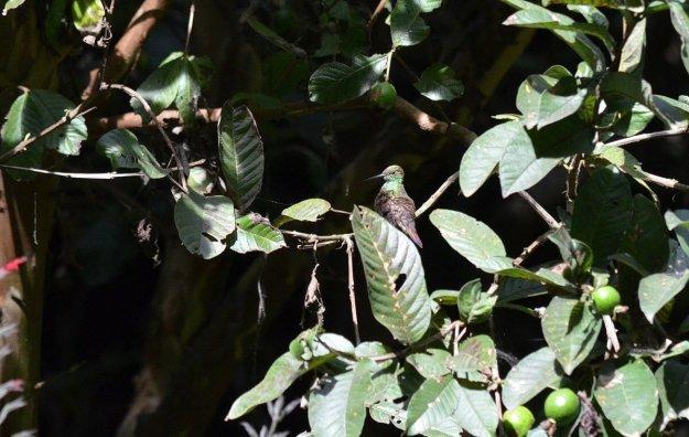 Berylline Hummingbird sitting on a tree at Hotel Rancho San Cayetano in Zitacuaro, Mexico