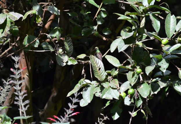 Berylline Hummingbird among leaves at Hotel Rancho San Cayetano in Zitacuaro, Mexico