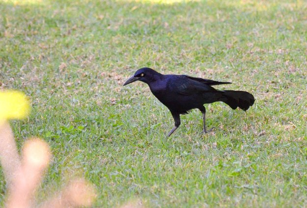 Great-tailed Grackle, zitacuaro, michoacan, mexico, 5