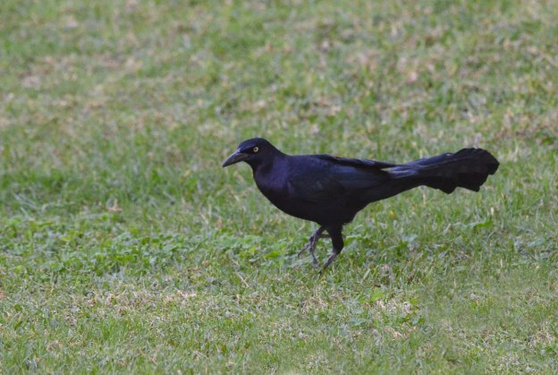 Great-tailed Grackle, zitacuaro, michoacan, mexico, 9