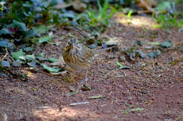 Lincoln's sparrow at zitacuaro, michoacan, mexico, 11