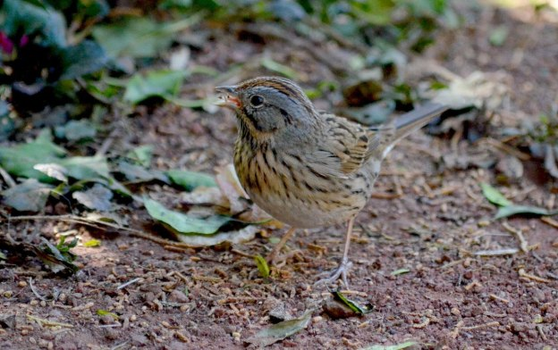 Lincoln's sparrow at zitacuaro, michoacan, mexico, 8