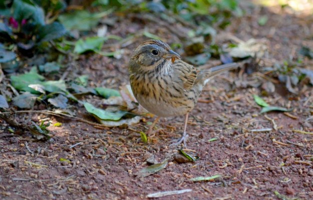 Lincoln's sparrow at zitacuaro, michoacan, mexico, 9