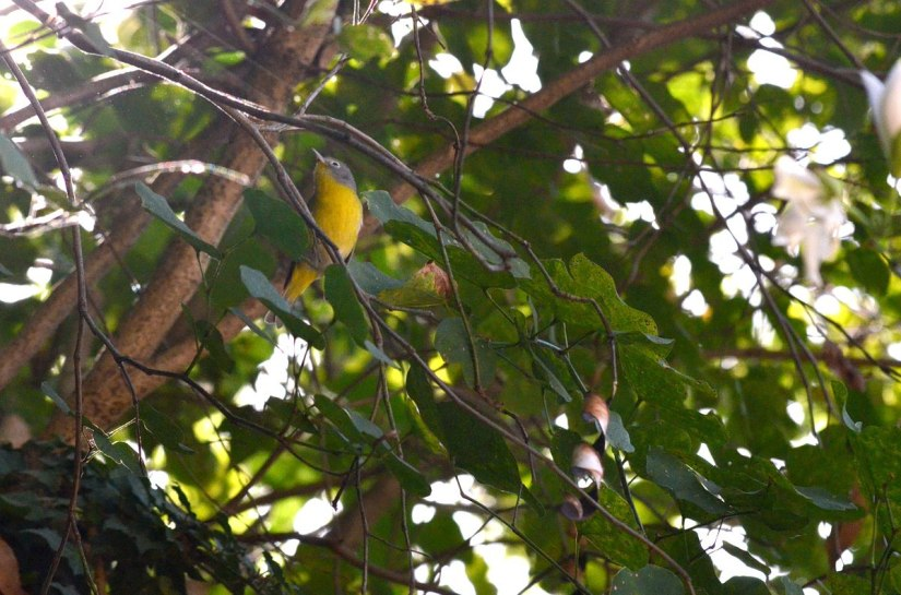 Nashville Warbler on tree limb at Hotel Rancho San Cayetano, Zitacuaro, Mexico
