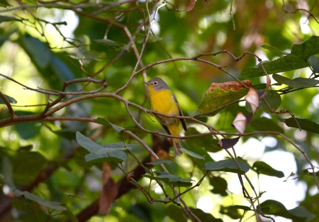 Nashville Warbler sitting in a tree at Hotel Rancho San Cayetano, Zitacuaro, Mexico 6
