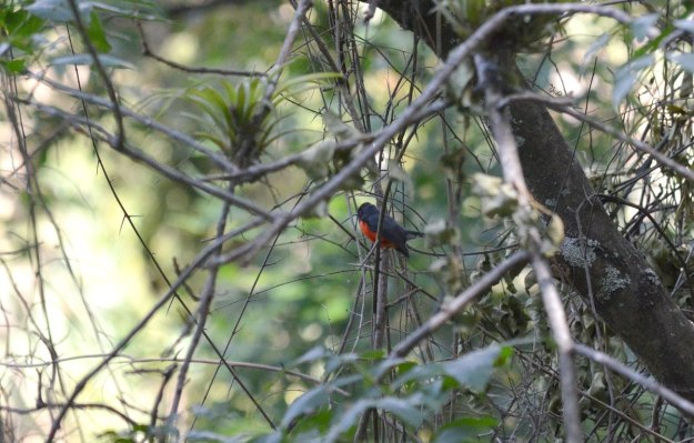Slate-throated Redstart at hotel rancho san cayetano, zitacuaro, mexico, 5