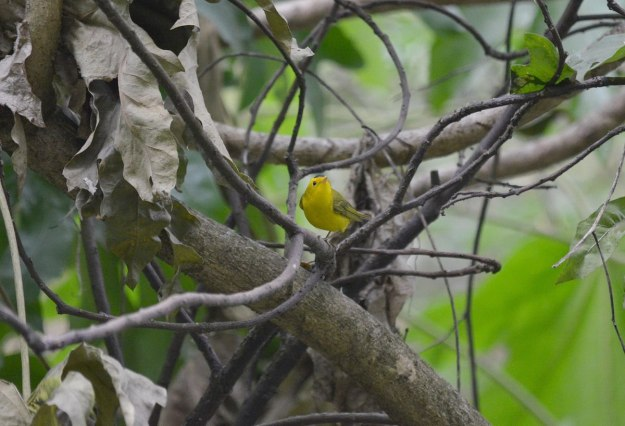Wilson's Warbler on tree limb at Hotel Rancho San Cayetano, in Zitacuaro