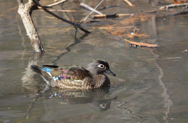 Wood Duck, female, High Park, Toronto 1