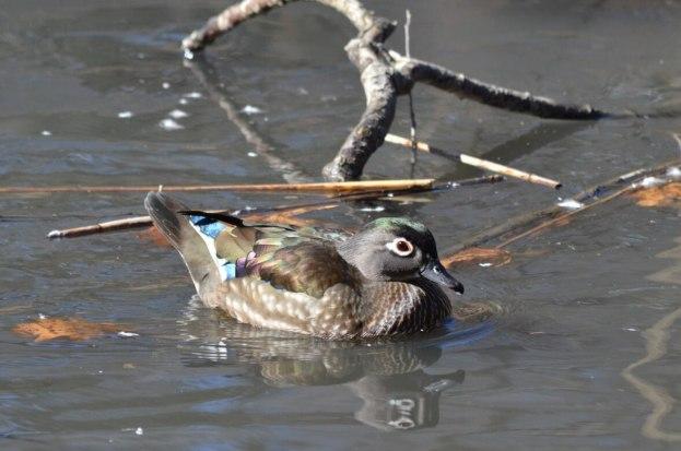 Wood Duck, female, High Park, Toronto 6