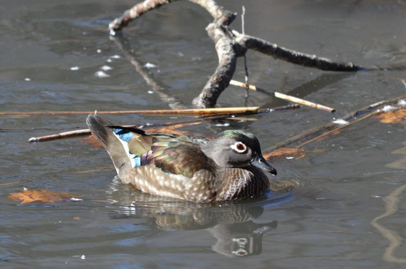 Wood Duck, female, High Park, Toronto 6